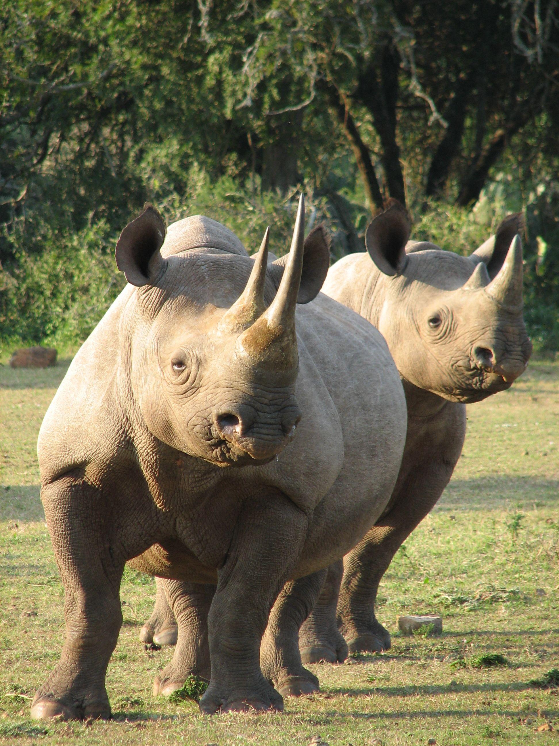 Black Rhino, Eastern Cape South Africa