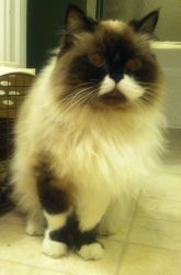 Adopt Mimosa On Cats Cats Snowshoe Cat Cats Kittens