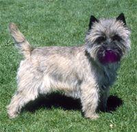 Cairn Terrier Cairn Terrier Cairn Terrier Puppies Dog Breeds