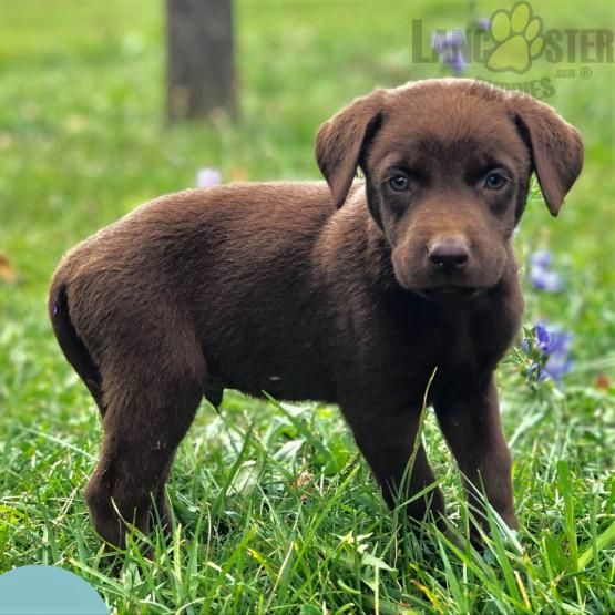 Pin By Lancaster Puppies On Labrador Retriever Puppies Labrador Retriever Labrador Retriever Puppies Puppies