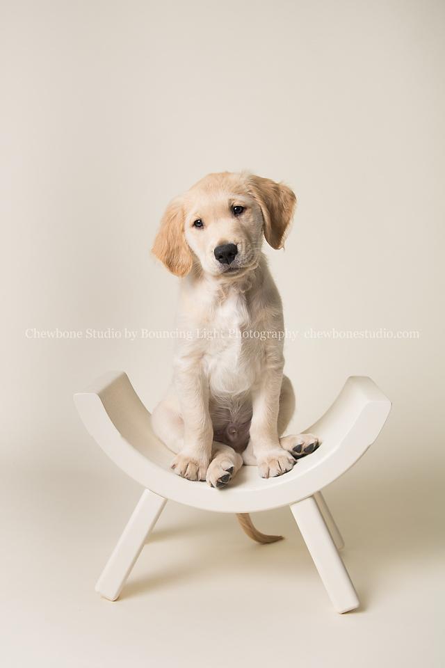 Blp Studio Chewbone Studio Pet Photography Golden Retriever