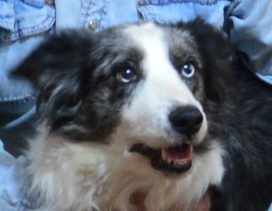 """Meet Angel'Sponsors Needed"""", an adoptable Border Collie looking for a forever home. If you're looking for a new pet to adopt or want information on how to get involved with adoptable pets, Petfinder.com is a great resource."""