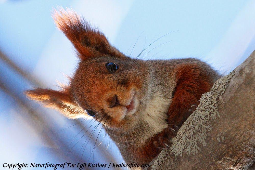 Naturfotograf Tor Egil Kvalnes: Ekorn i villmark