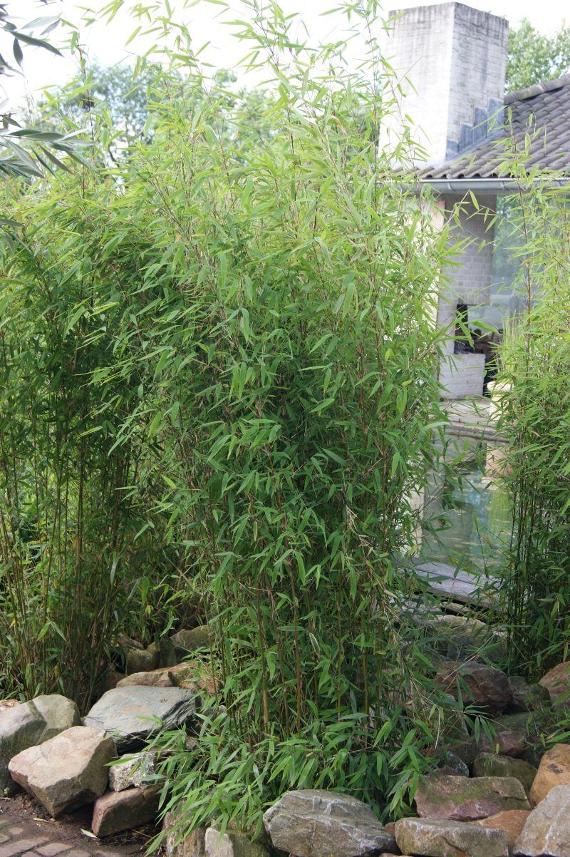 Fargesia Obelisk Als Einzelpflanze Mit Bildern Bambus Pflanzen