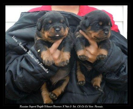 Litter Of 6 Rottweiler Puppies For Sale In Dayton Oh Adn 56372 On Puppyfinder Com Gender Female Age With Images Puppies Rottweiler Puppies Rottweiler Puppies For Sale