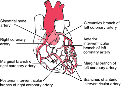 Heart coronary artery system diagram view of the coronary arterial heart coronary artery system diagram view of the coronary arterial system the arteries serving the ccuart Images