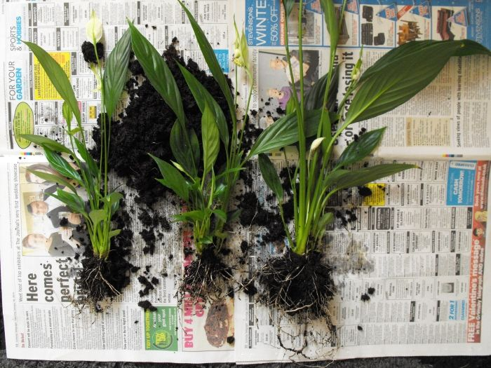 Propagating A Peace Lily Step By Step Instruction Guide Peace Lily Peace Lily Flower Lily Plants