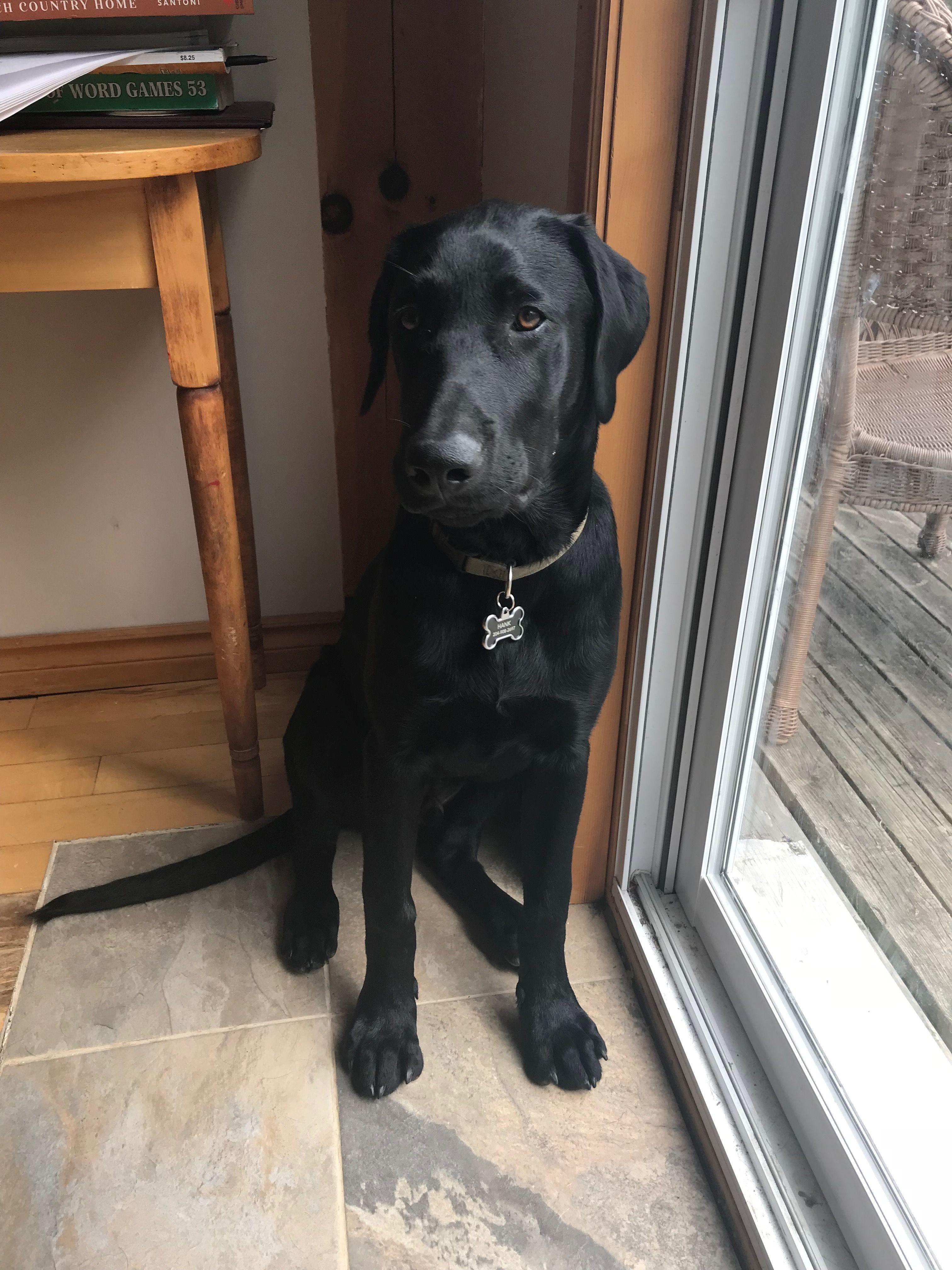 23 Week Old Black Lab Labrador Retriever Black Labs Dogs Black