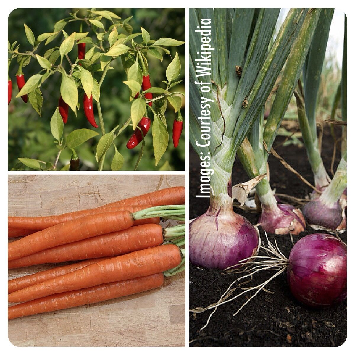 Companions Peppers Carrots And Onions Companion Planting 400 x 300
