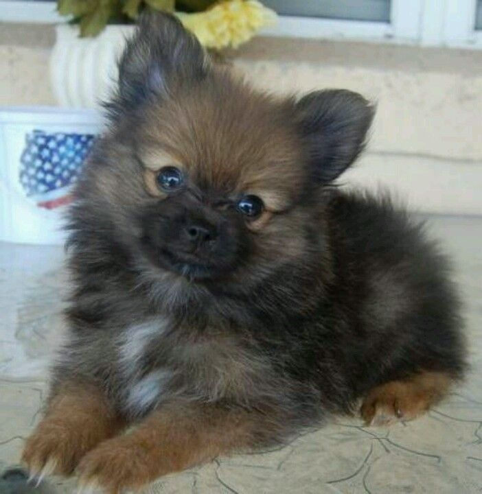 I am MADLY in love with this Pom!!!!