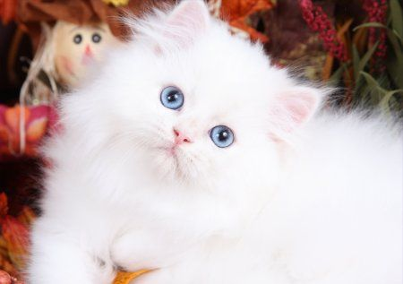 White Baby Kittens With Blue Eyes white persian c...