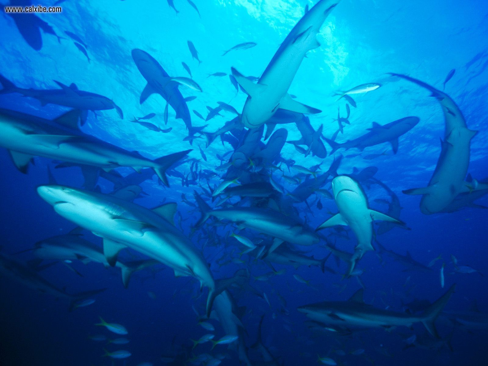 Feeding Frenzy Gray Ree Sharks Carcharhinus Amblyrhynchos Bahamas Shark Animals Animal Groups
