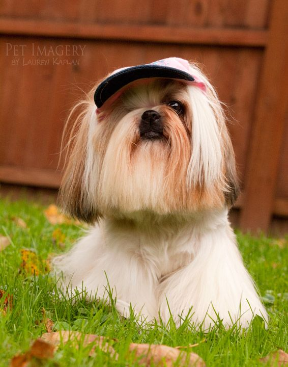 New Pet Photography Chelsea The Shih Tzu And Her Long Haired