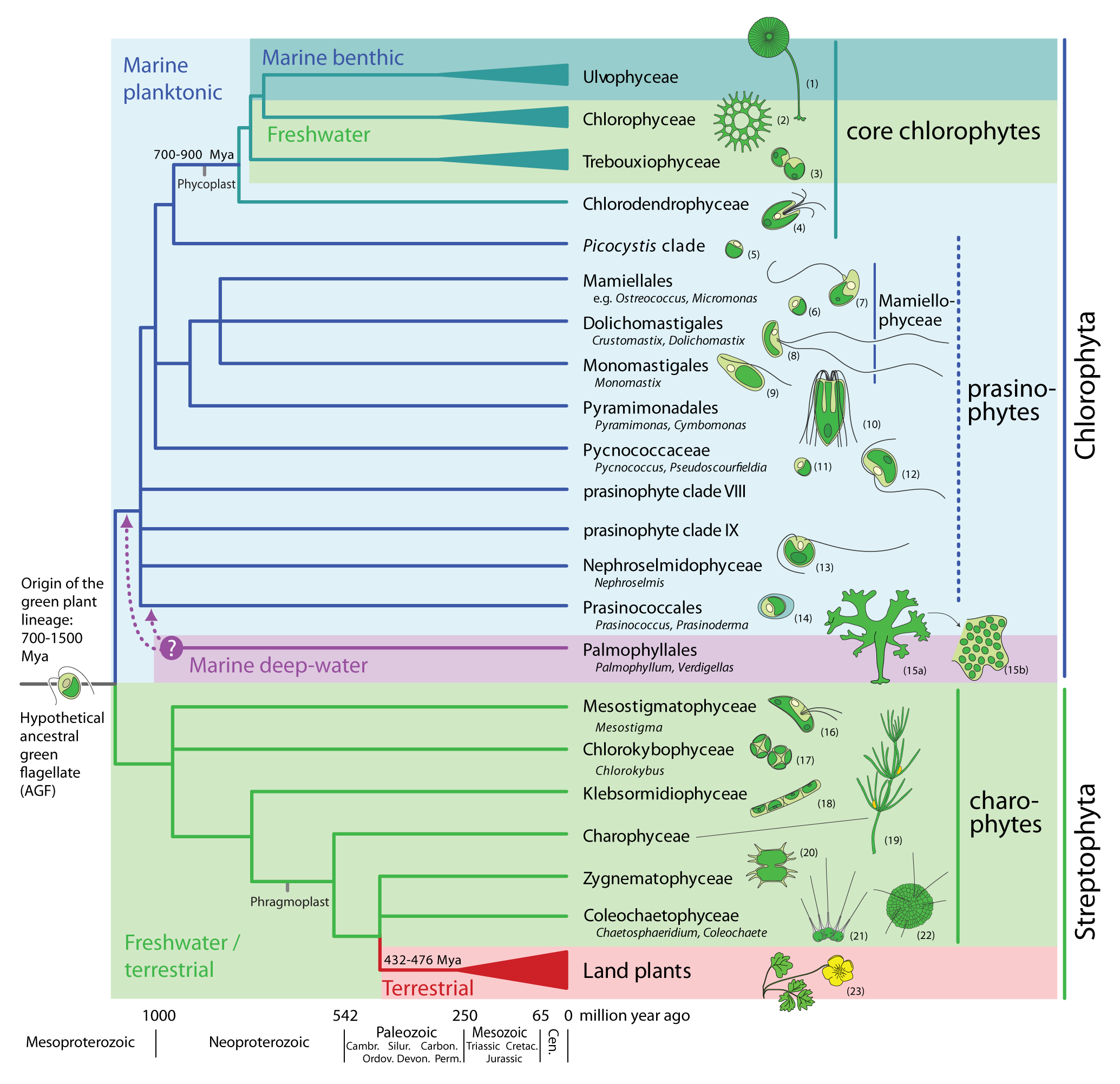 new discoveries at the base of the green plant phylogeny