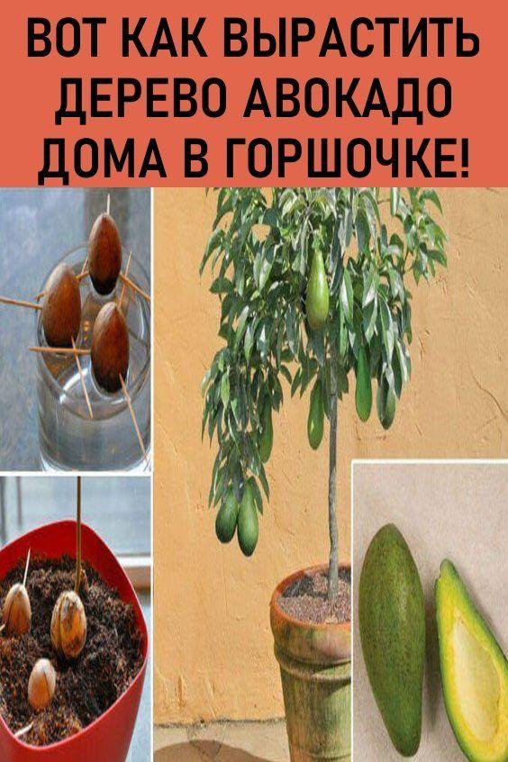 как вырастить серебряное дерево