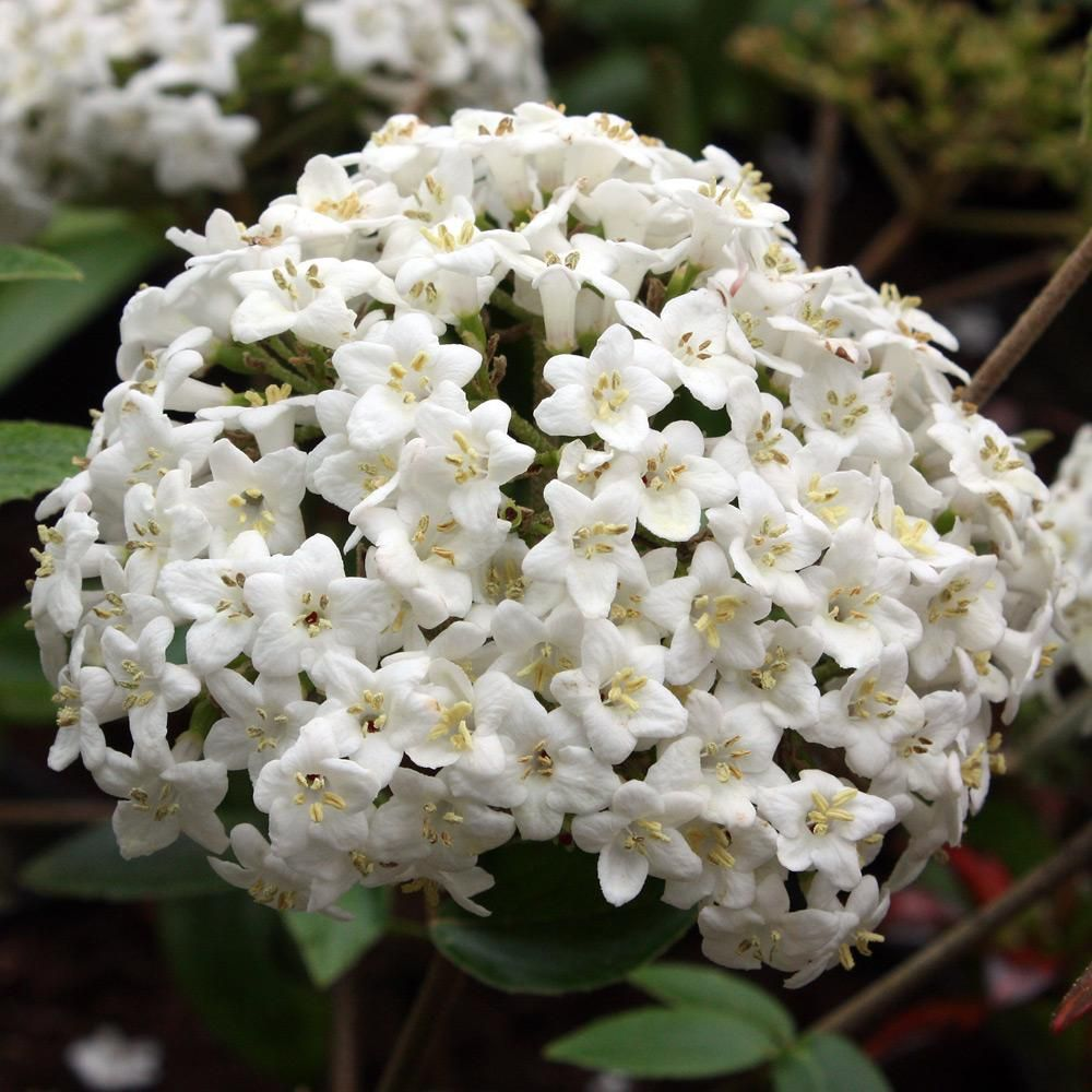 Viburnum x burkwoodii evergreen shrub bearing fragrant pink budded evergreen shrub bearing fragrant pink budded white flowers from january to may any good well drained soil in sun or semi shade height 2m mightylinksfo