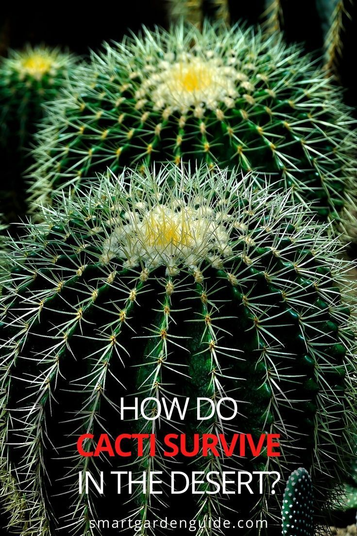 Cactus Adaptations How Are Cacti Adapted To The Desert