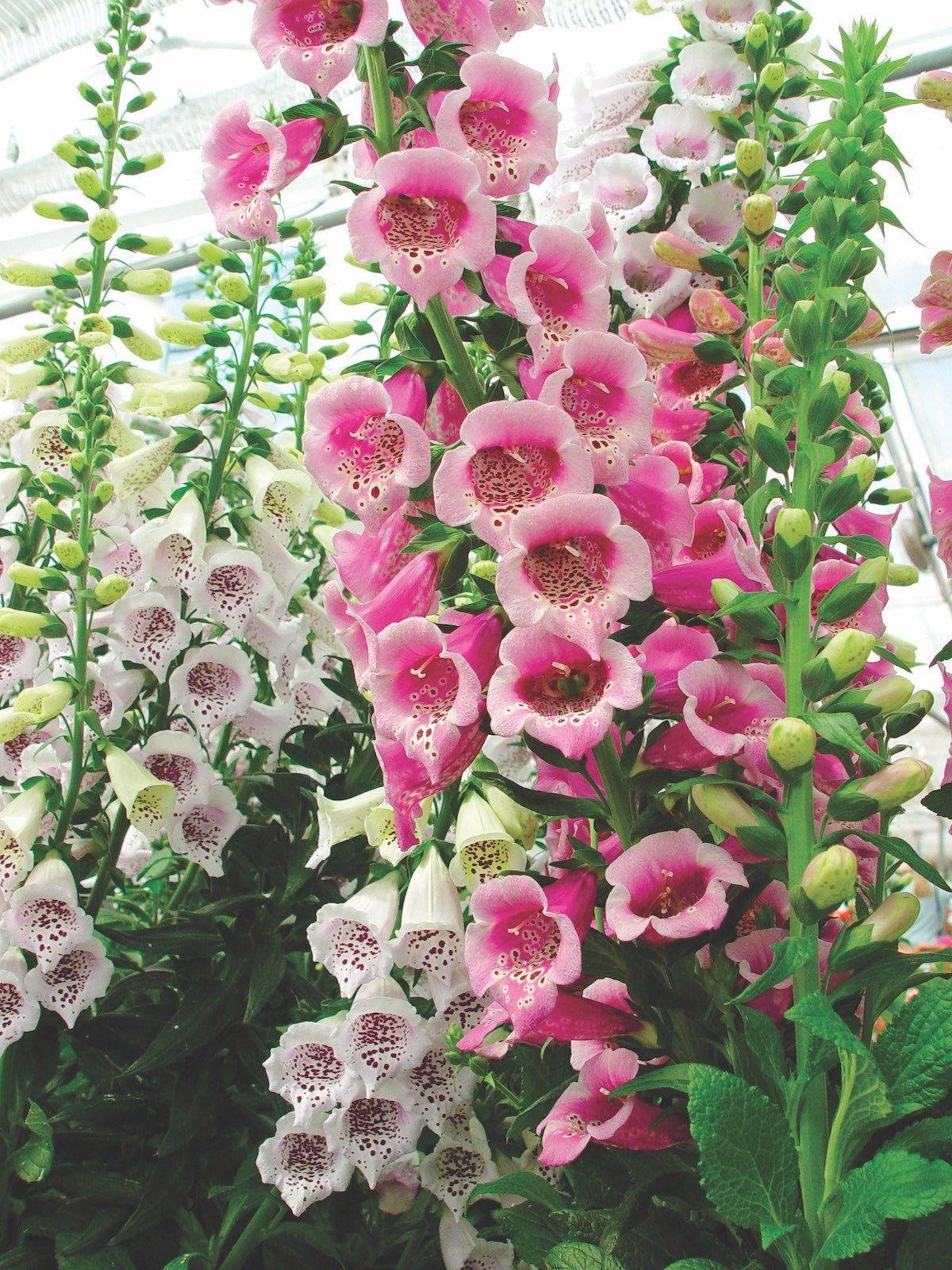 Growing Foxglove Flowers Flower Gardens And Foxglove Plant