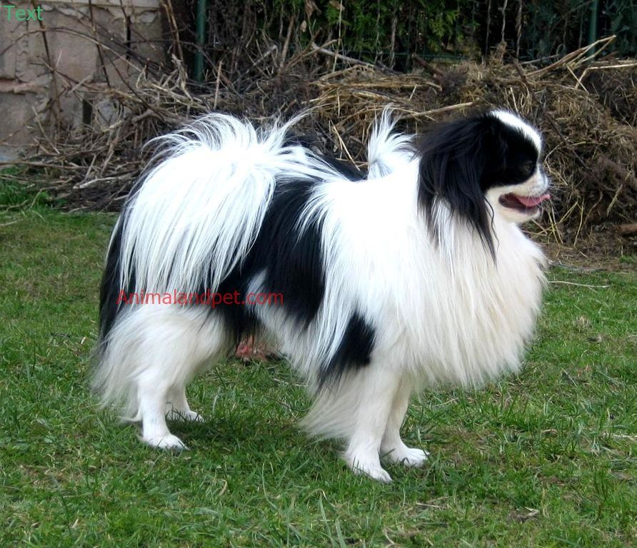 See More Information As Per Our Link At Below Https Animalandpet Com Braintraining4dogs Japanese Chin Puppies Japanese Chin Dog Dog Breeds