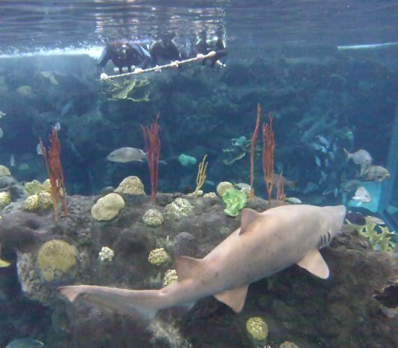 aquarium florida shark sharks swim swimming tampa dive scuba haifischbecken zusammen besucher ins koennen visitors tampabay reisereporter