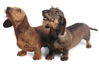wire haired dachshund - Little Bit is like the one on the left