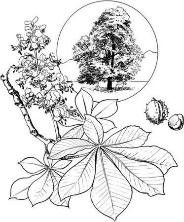 Hoja Y Flor De Castaño