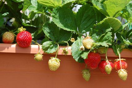 erdbeere fragaria erdbeeren k nnen sehr einfach auf dem balkon gezogen werden auch wenn sie. Black Bedroom Furniture Sets. Home Design Ideas