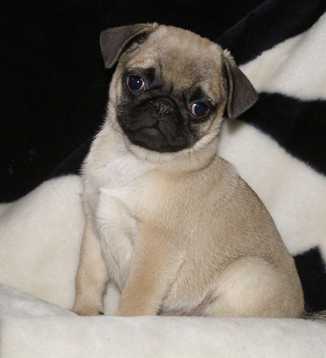 Cute Lil Puppy Pug Baby Pugs Pugs Pug Love