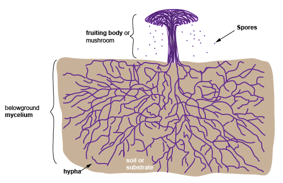 Diagram Of Fungus