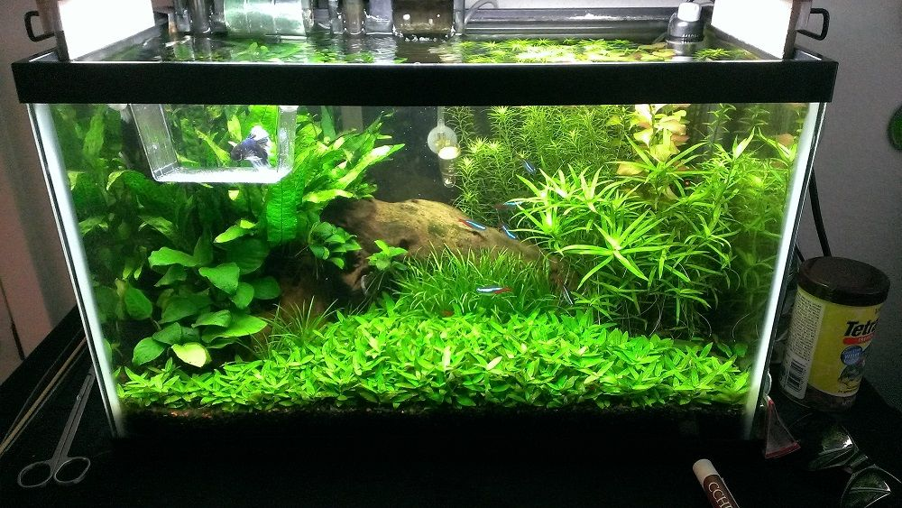 10 gallon half dutch half iwagumi the planted tank for Fish for a 10 gallon tank