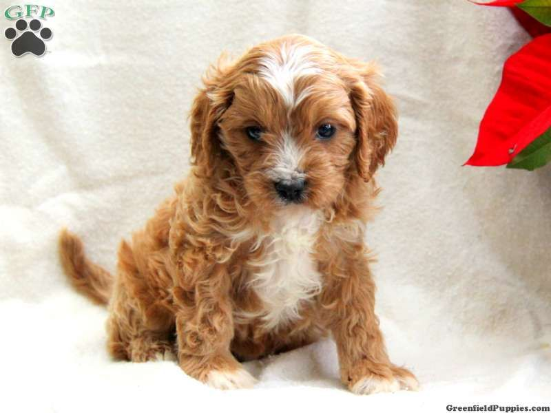 Copper Cavapoo Puppy For Sale From Gordonville Pa Cavapoo Puppies Puppies Greenfield Puppies