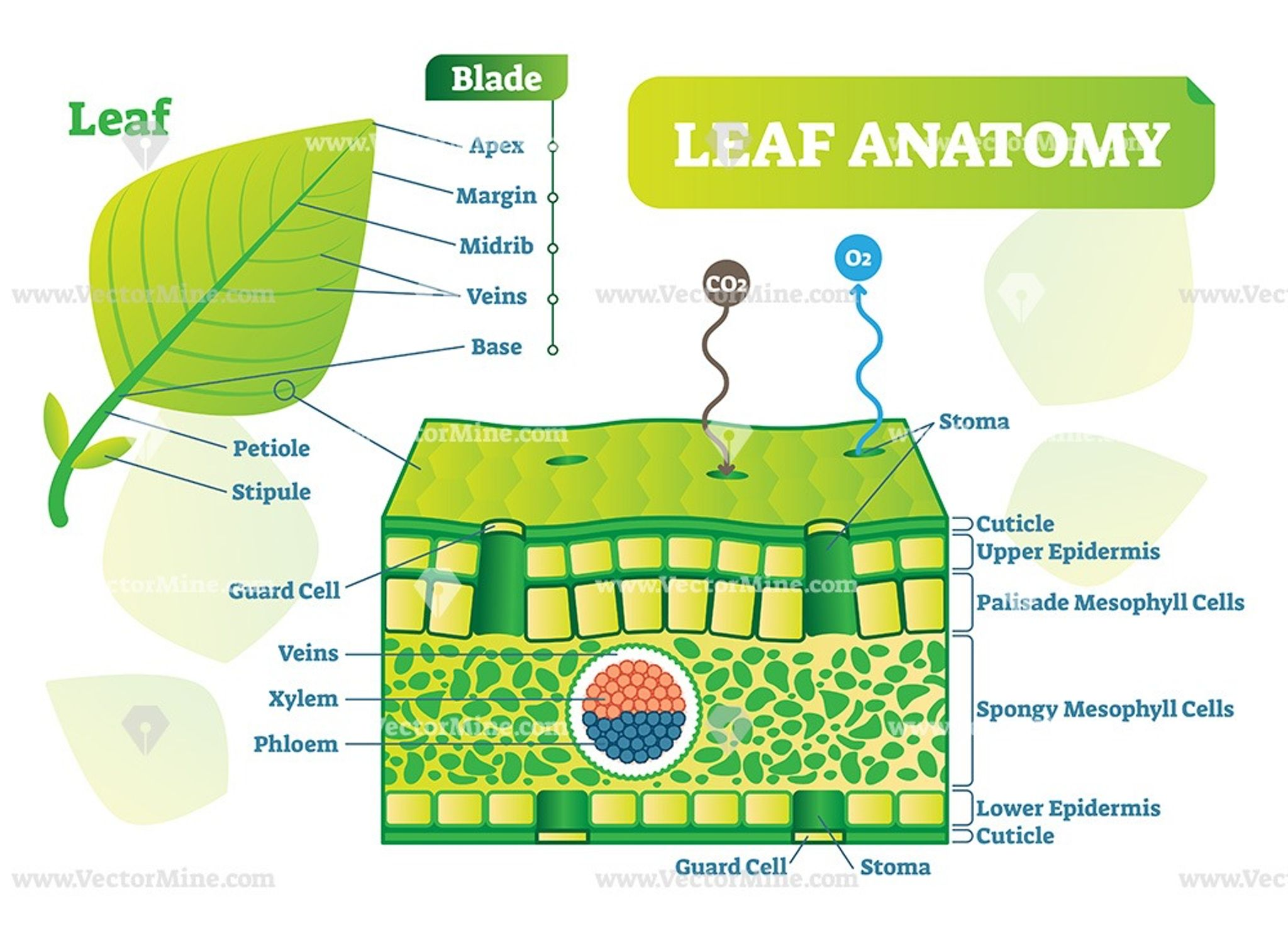 Leaf Anatomy Vector Illustration Diagram