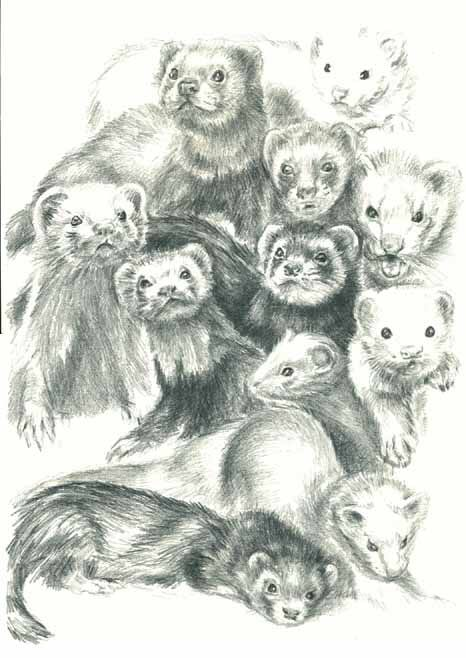 Ferrets business drawing | Ferret love | Pinterest | Comadrejas ...