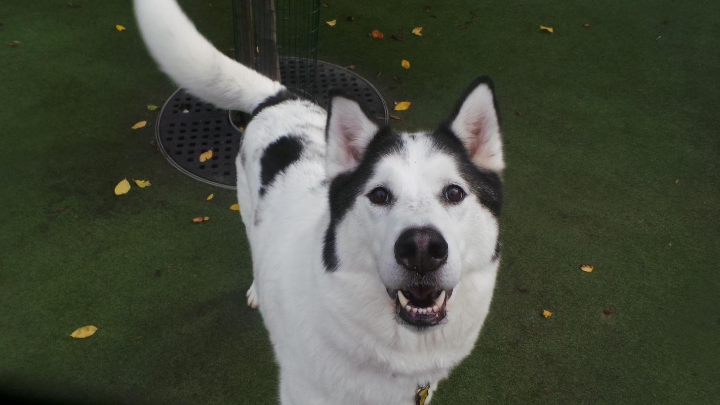 Boog Is A Beautiful 7 Year Old Husky Who S On The Lookout For An
