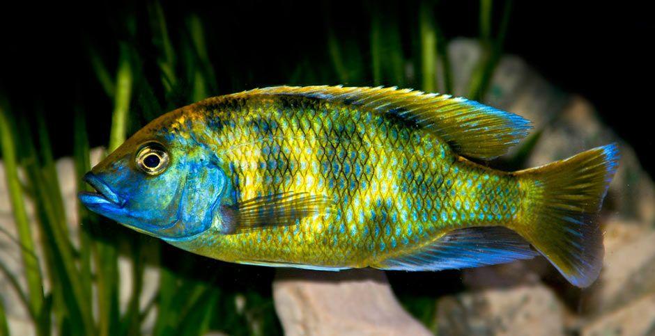 Venustus Cichlid African Cichlids Cichlids Cichlid Fish
