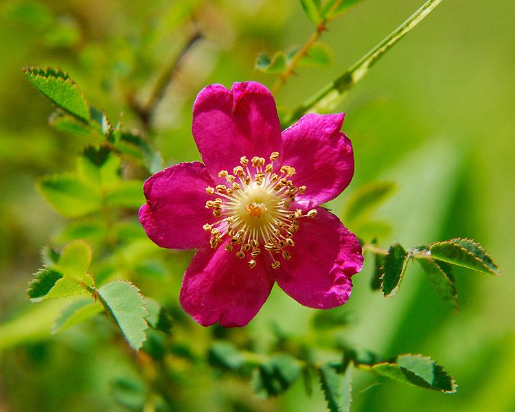 """Rosa gymnocarpa, also known as the baldhip rose (gymnocarpa means 'bare fruit'), wood rose, or dwarf wild rose, is native to western North America from British Columbia south to California, and east to Idaho and Montana."""