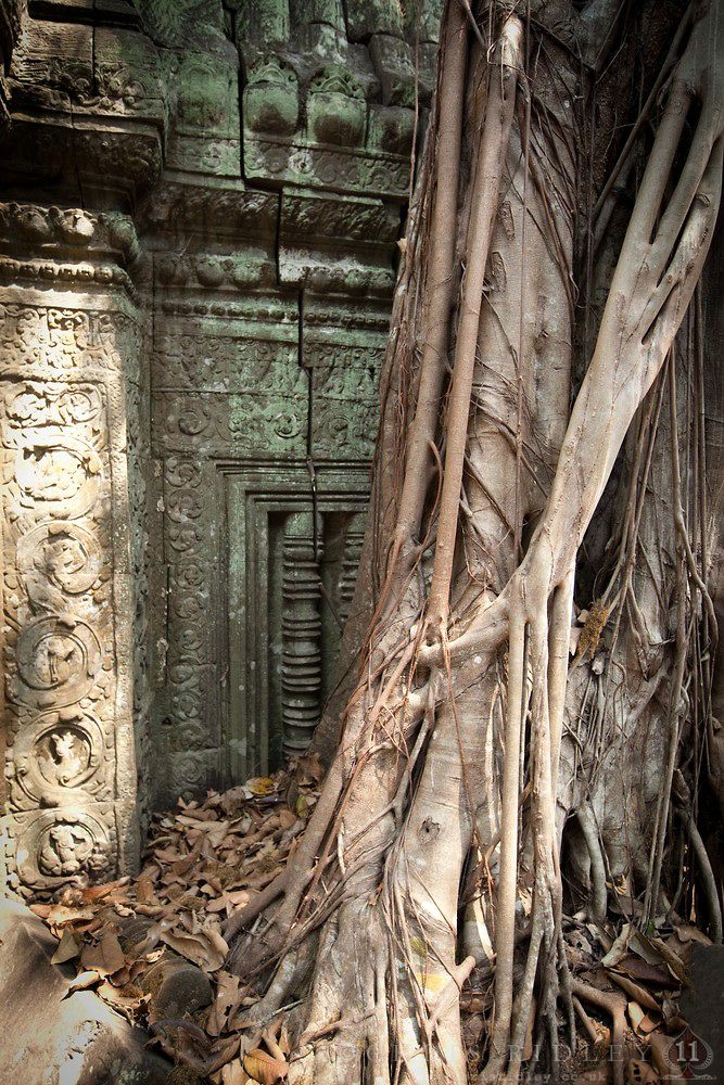 Banyan trees growing over the Ta Prohm Temple, Cambodia. ©Chris Ridley