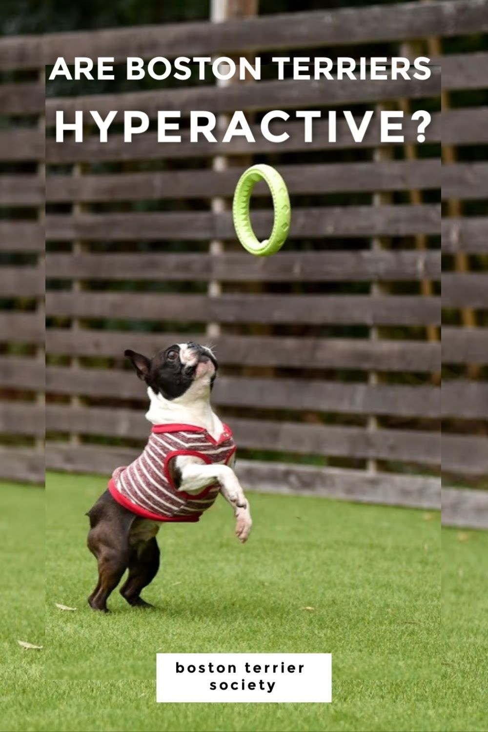 46++ Boston terrier breed health issues trends