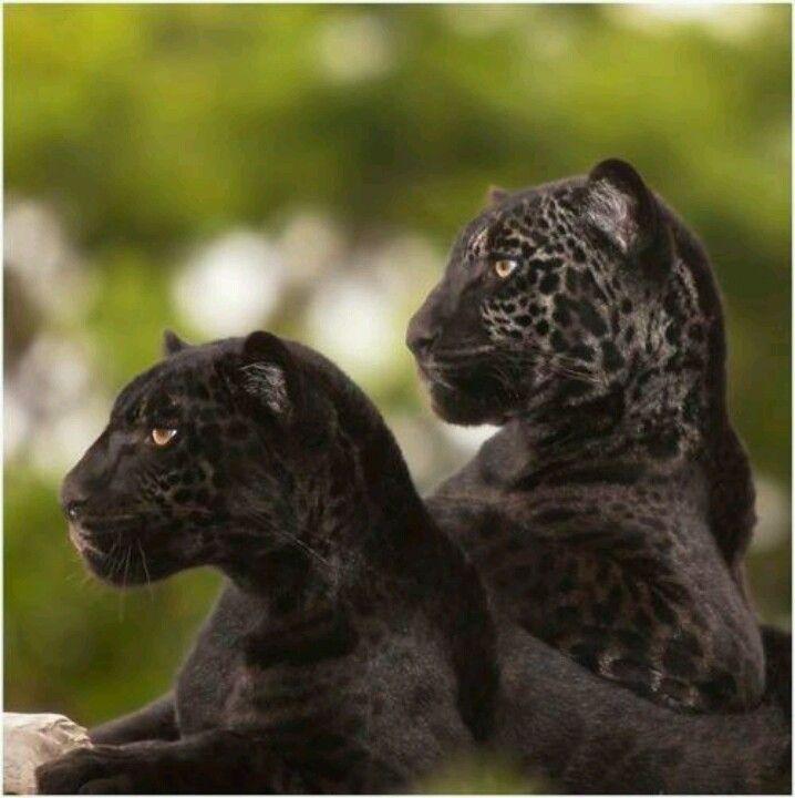 Black Jaguar Cubs