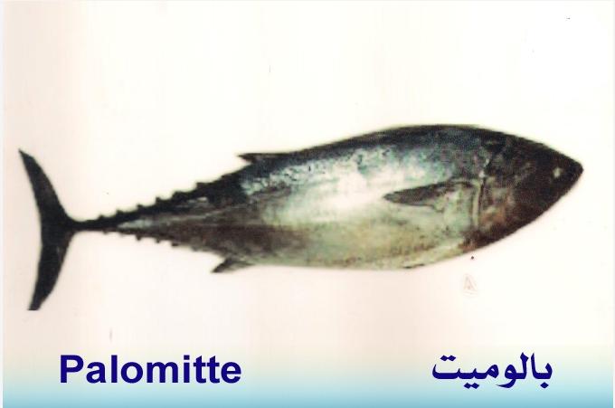 تعريف اسماء الاسماك بدلجة المغربية و الفرنسية البحار المغربي Fish Food