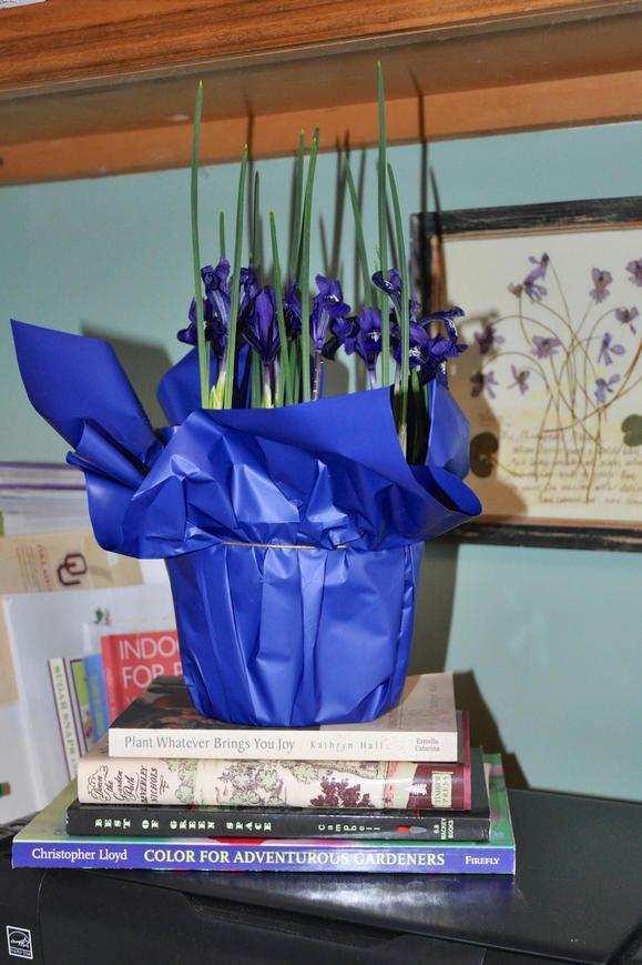 Forcing bulbs: Iris reticulata