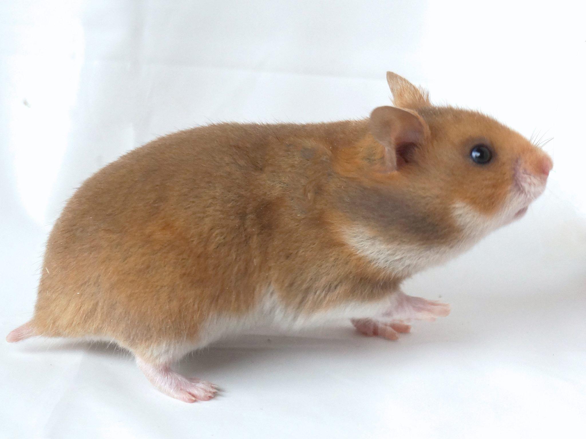 Jules Vanroe Jules Vanroe S Photos Facebook Syrian Hamster Cute Hamsters Hamster