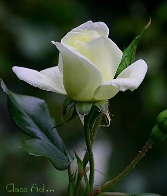 white rose - Pesquisa Google
