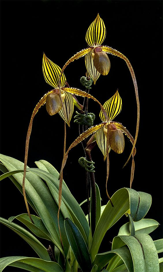 Paph Formosa Lady Susan Booth Yu Pin X Sanderianum In Charm