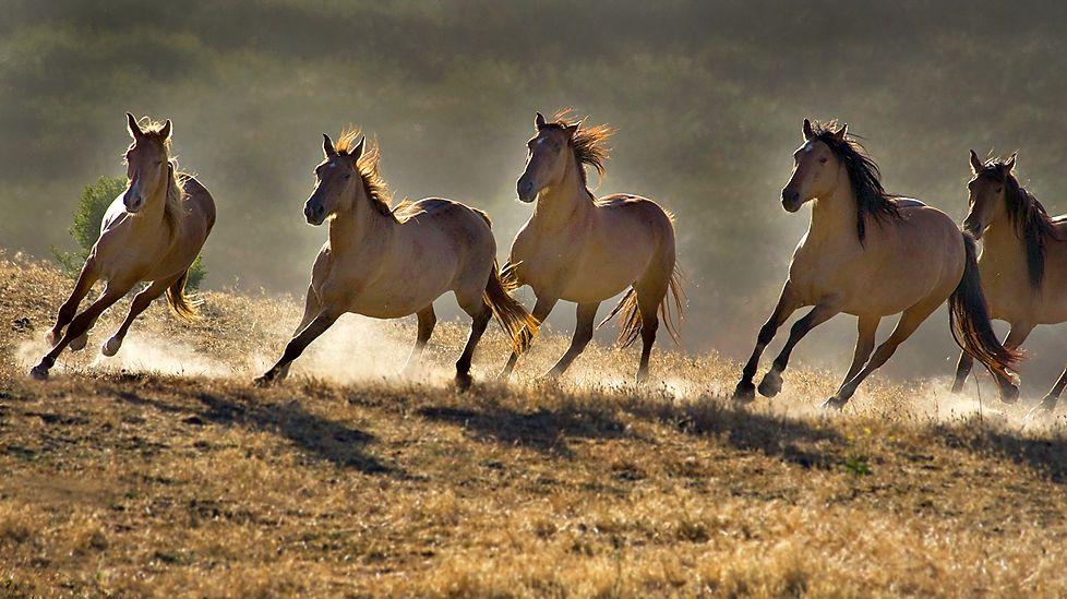 Photos Of Wild Horses0001 Wild Horses Running Wild Horses Beautiful Horses
