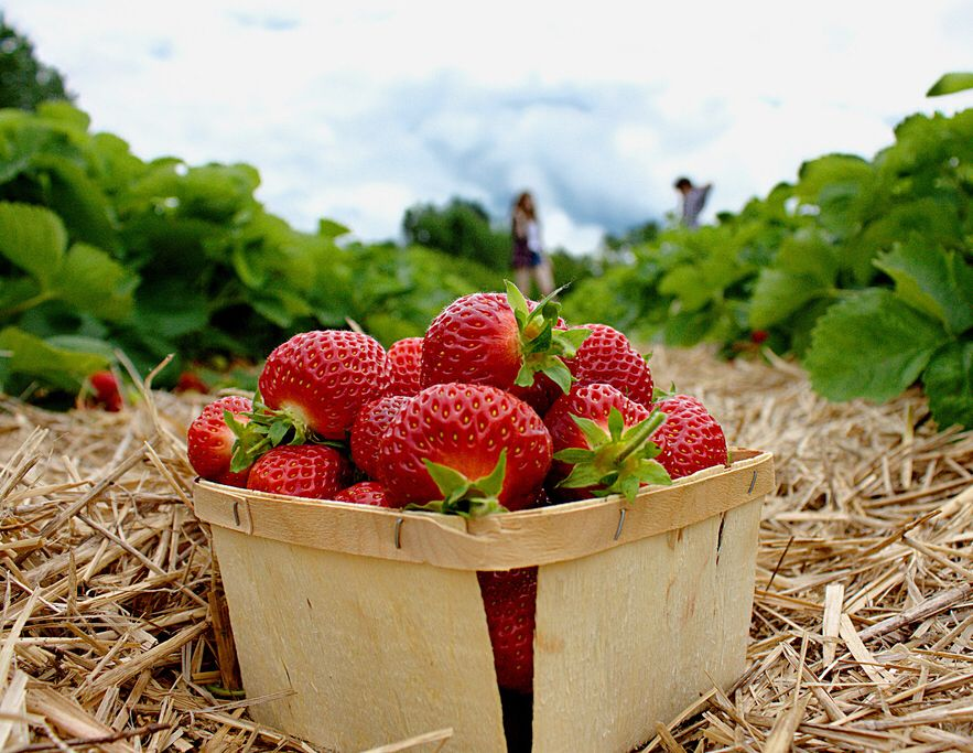 Pick your own strawberries