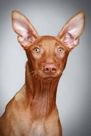 Pharao Dog Faaraokoira Hound Puppies Pharaoh Hound Puppies Pharaoh Hound