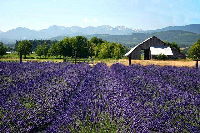 Fields of lavender to frolic in.