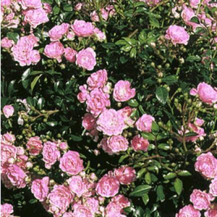 Rosen Wildtriebe