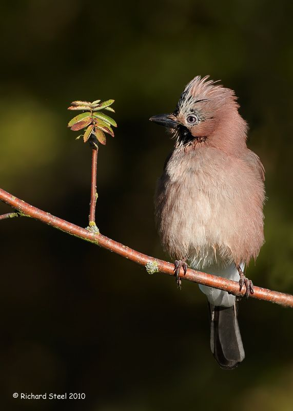 The first time I have managed to get a Eurasian Jay with its head feathers raised - Photo by Richard Steel